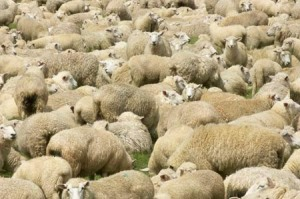 Flock of Sheep, Fiordland, Southland, South Island, New Zealand